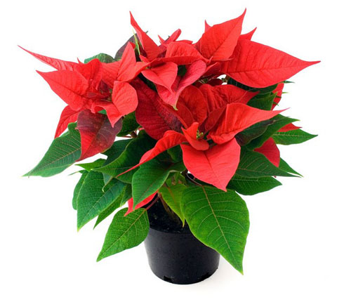poinsettia_cropped